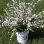 Fresh White Spirea for Your Wedding