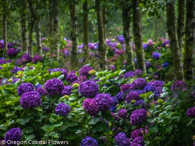 Purple Hydrangea in Full Bloom