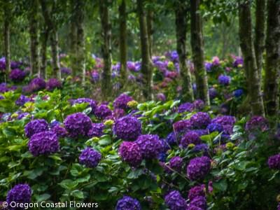 Purple Hydrangea in Full Bloom