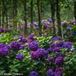 Gorgeous Dark Purple Fresh Hydrangea Flowers