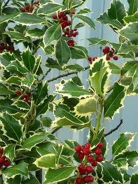 12.02.20 Green & Varigated Holly Christmas Branches Wholesale