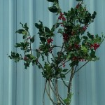 Green Holly Branches with Red Berries