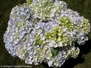 Immature White Hydrangea