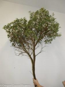 Large Manzanita Branch