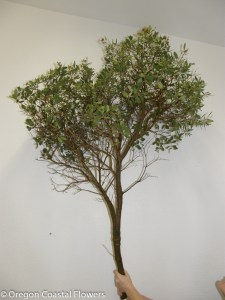 Large Manzanita Branch