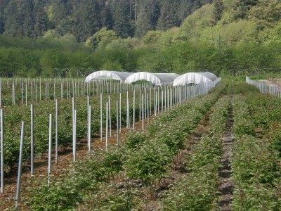 Locally Farmed Oregon Peony Flowers