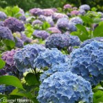 Medium sky blue hydrangeas