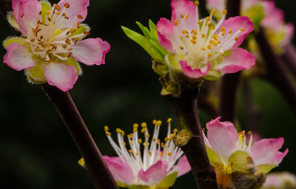 Pink Peach Blossoms