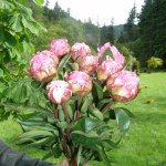 Pink Peonies for Mother's Day