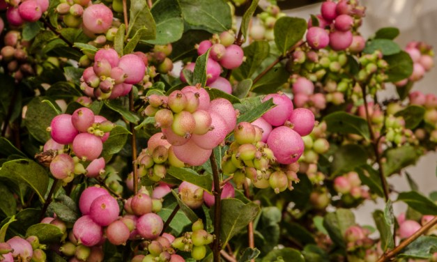 Delicate Pink or Green/White Snowberries.