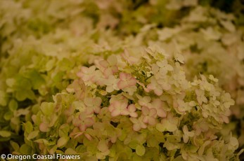 Pink Tinged Pee Gee Hydrangea