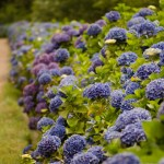 Summer Wedding Blue Hydrangea