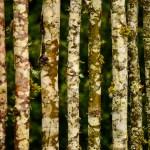 Unique Birch Wood Fence
