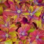 Unique Pistachio Hydrangea