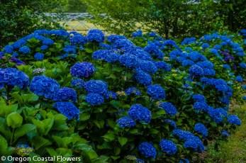Vivid Dark Blue Hydrangea Flowers