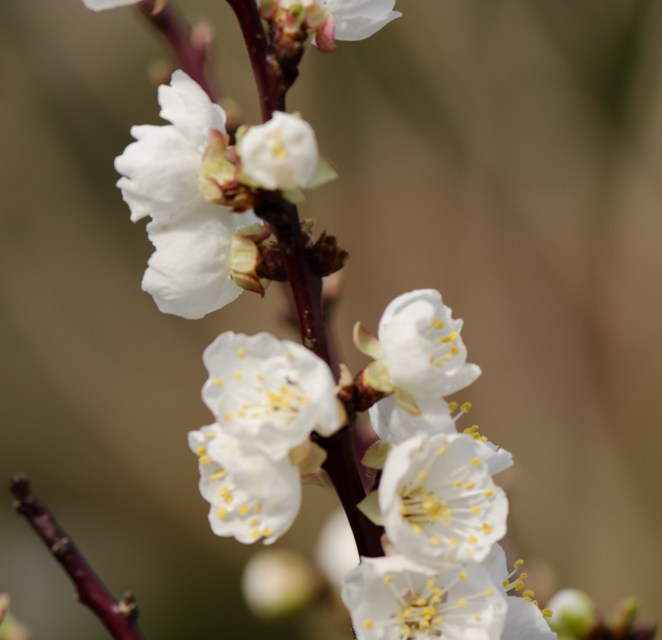 White Apricot Blooming Branches