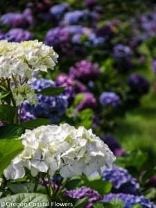White Hydrangea Grown on a Family Farm