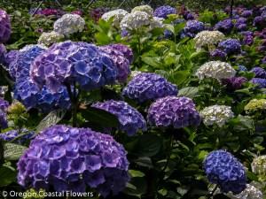 Wholesale Lavender Hydrangea Flowers