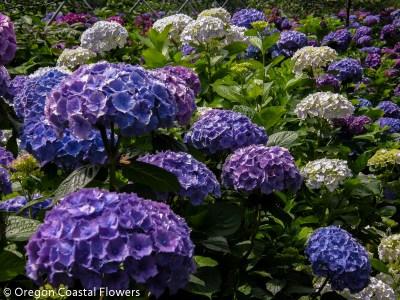 Wholesale Lavender Hydrangea