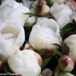 Wholesale White Peonies