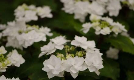White Lacecap Hydrangea 6.29.17