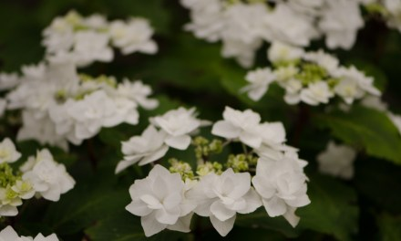 Double White Lacecap Hydrangea Wedding