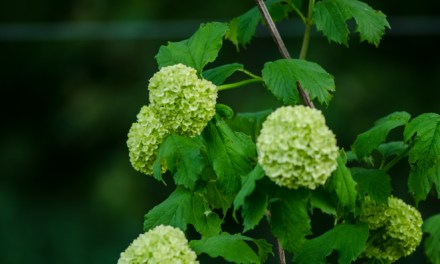 Snowball viburnum from the Oregon Coast.
