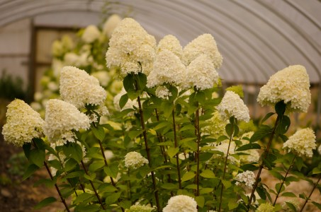 Lime Light Hydrangea Flowers