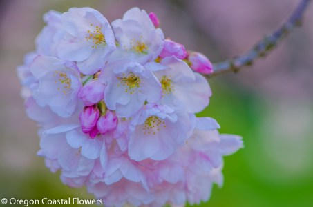 White & Pink Cherry Branches