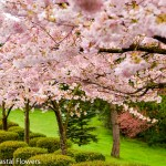 Pink Blooming Cherry Branches