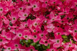 Pink Blooming Dogwood Branches