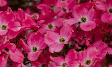 Flowering Dogwood wholesale branches now shipping.