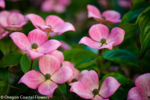 Specialty Cut Pink Blooming Dogwood Branches