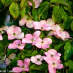 Spring Blooming Pink Flowering Dogwood Branches