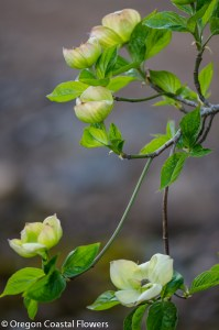 Spring Flowering Dogwood Branches