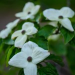 White Flowering Dogwood Branches