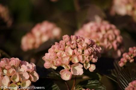 Bridal Bouquet Pink Snowball Viburnum