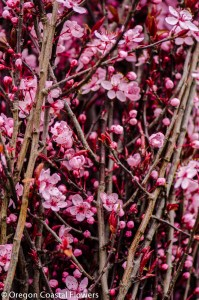 hot pink prunus branches