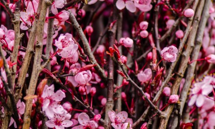 Hot Pink Blooming Prunus Branches