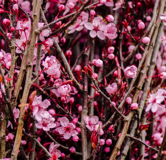 Hot Pink, Flowering, Prunus Branches