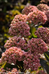 Locally Grown Pink Snowball Viburnum
