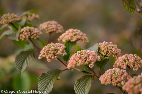 Perfect Pink Snowball Viburnum