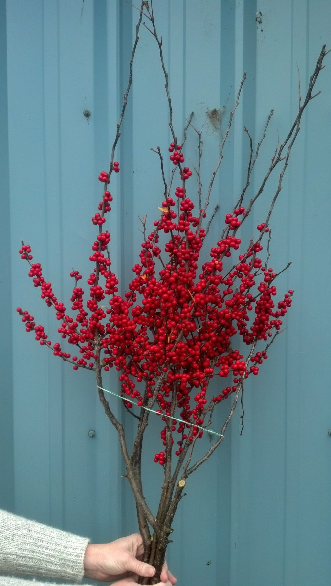 Red Ilex Loaded With Berries Oregon Coastal Flowers