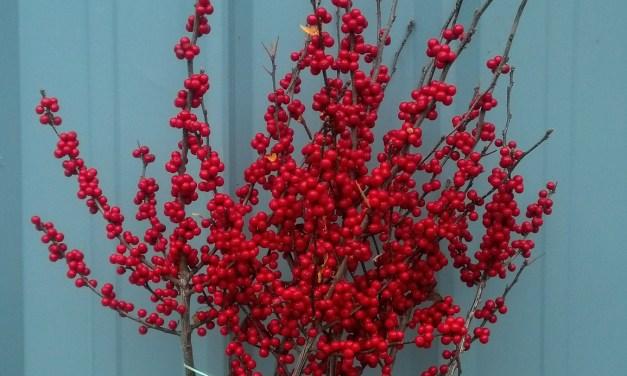 Red Ilex Berries, Christmas Berries 11.07.17
