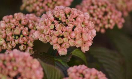 Pink Snowball Viburnum,  American Grown specialty cut flowers