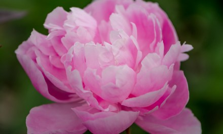 American Grown Pink Peonies