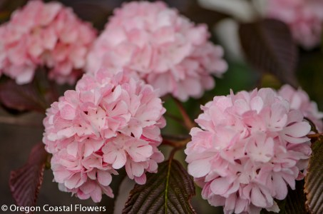 More photos of Pink Snowballs, Mother's Day specialty cut flowers