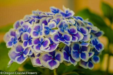 Bi-Color Hydrangea