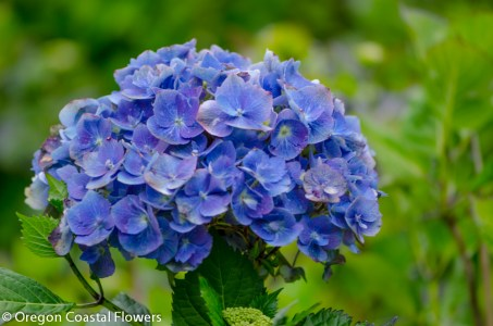 Blue Hydrangea Bloom