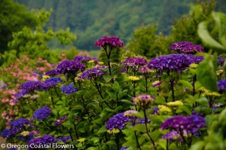 Dark Stemmed Purple Hydrangea